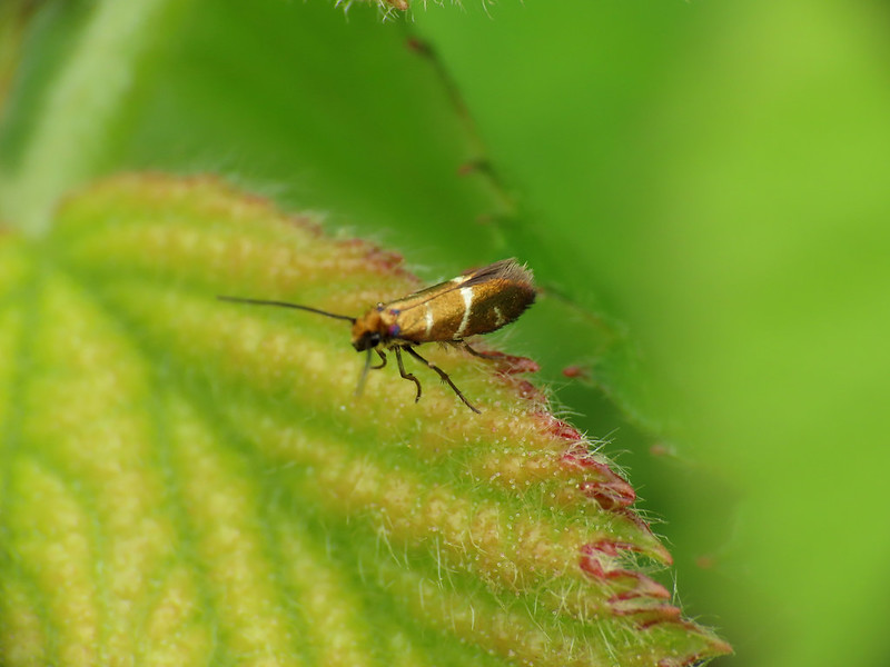01.004 White-barred Gold - Micropterix aruncella