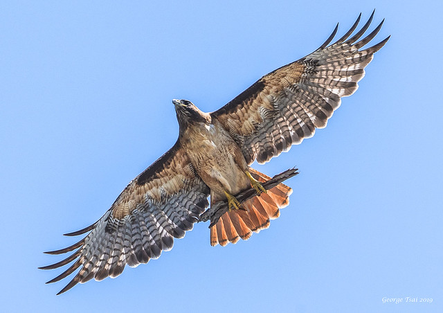 Red-tailed Hawk with Nesting material 紅尾鷹準備築巢材料