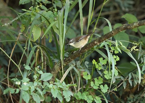 whitebrowedscrubwren sericornisfrontalis bellacreek queensland australia