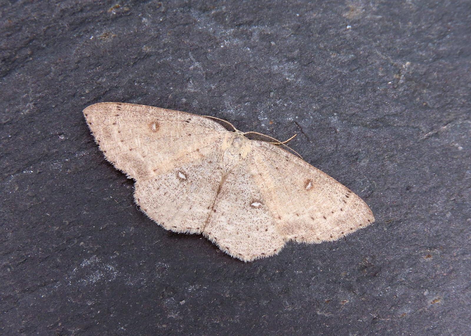 70.032 Birch Mocha - Cyclophora albipunctata