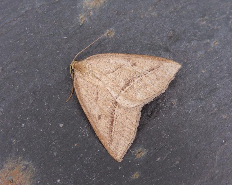 70.222 Brown Silver-line - Petrophora chlorosata