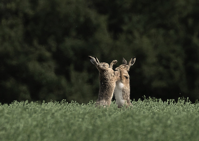 Hares-boxing_5639