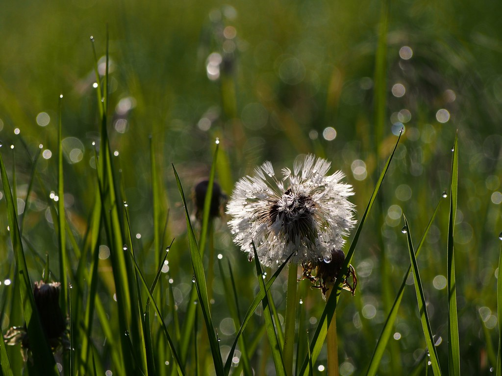 Dandelion im Morgentau