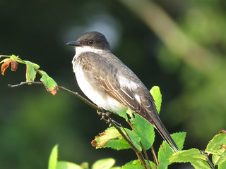 Eastern Kingbird | by mggoodwin56