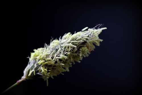 Alopecurus pratensis - vulpin des prés  48007305211_55f369f2d9
