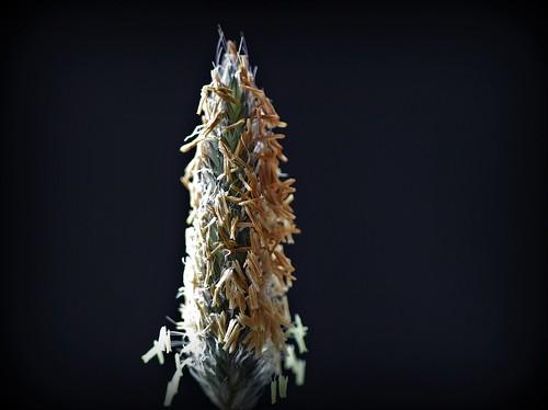 Alopecurus pratensis - vulpin des prés  48007388547_0c56901407