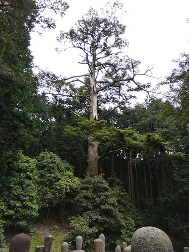 メタセコイアの巨木(比叡山延暦寺 東塔 北谷 虚空蔵尾 北谷墓地)