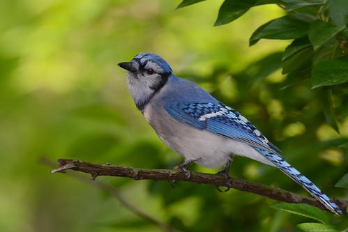 birds nikon nikond7100 tamronsp150600mmf563divc jdawildlife johnny portrait closeup eyecontact centralparknycny bluejay gorgeous wow