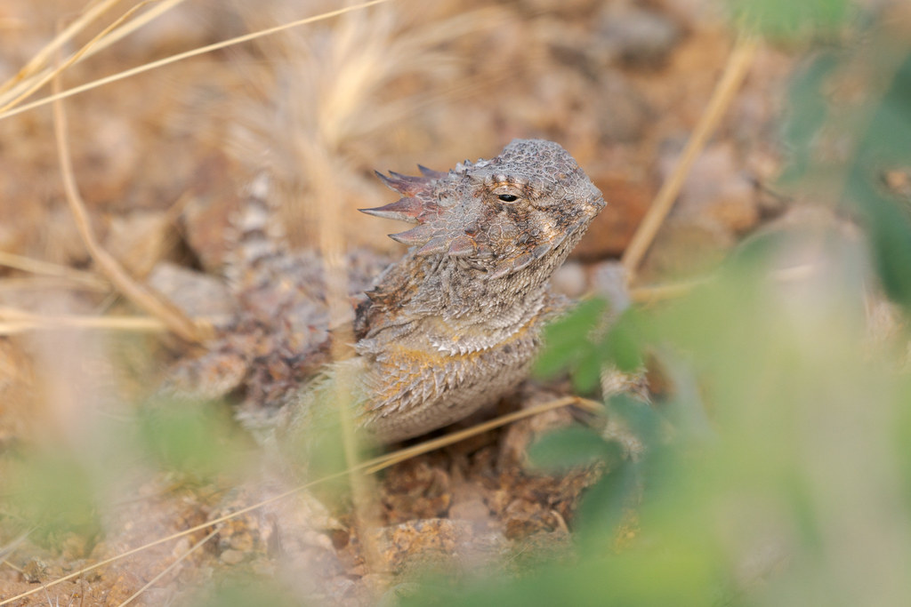 A front view of a regal horned lizard on the Watershed Trail in McDowell Sonoran Preserve in Scottsdale, Arizona in June 2019