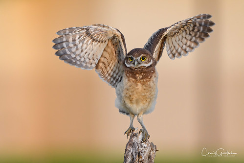 burrowingowls capecoral owl bird avian raptor nature wildlife animal wings nikon d500