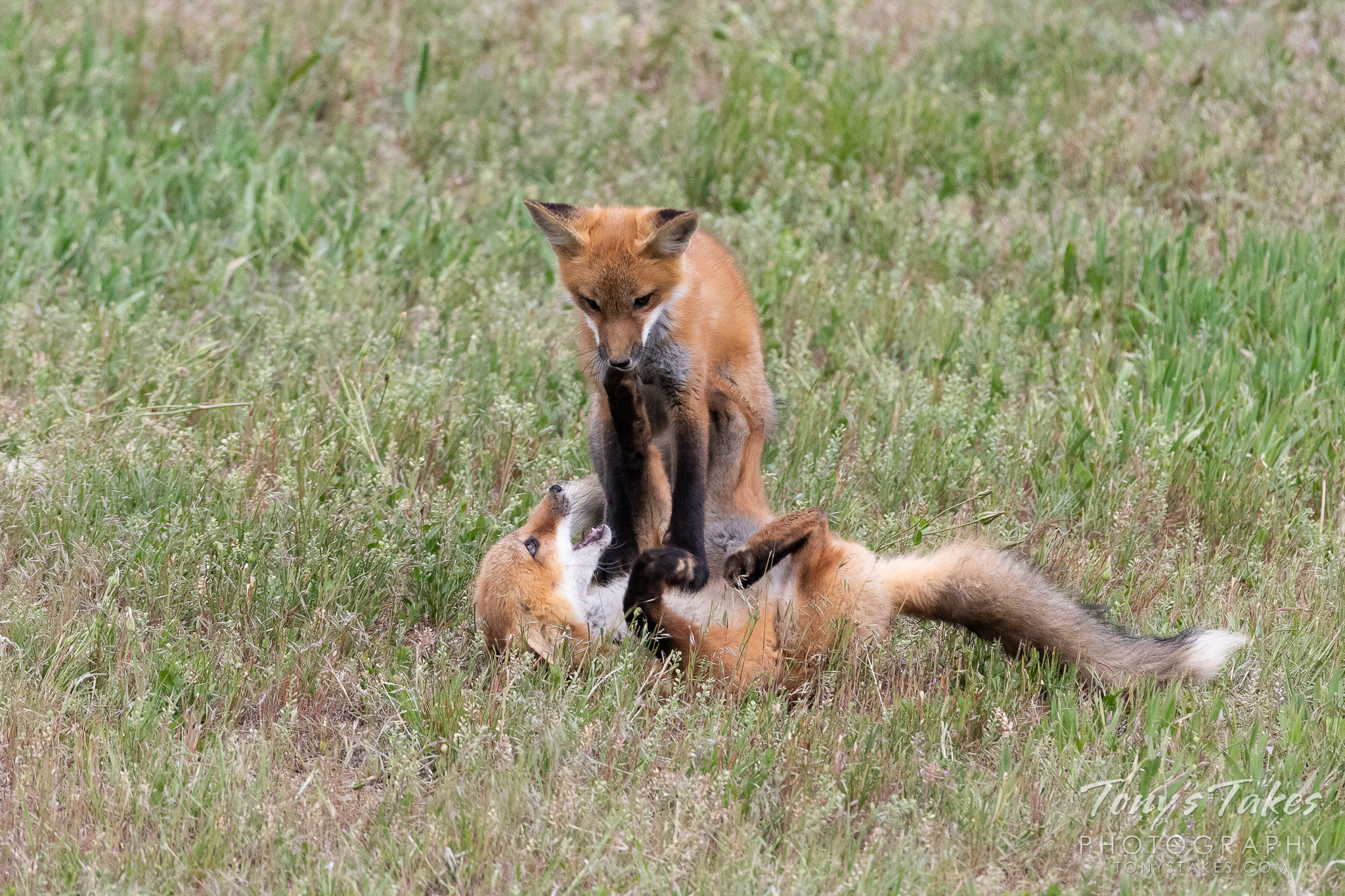 A fox kit pins its sibling to the ground in Thornton, Colorado. (© Tony's Takes)