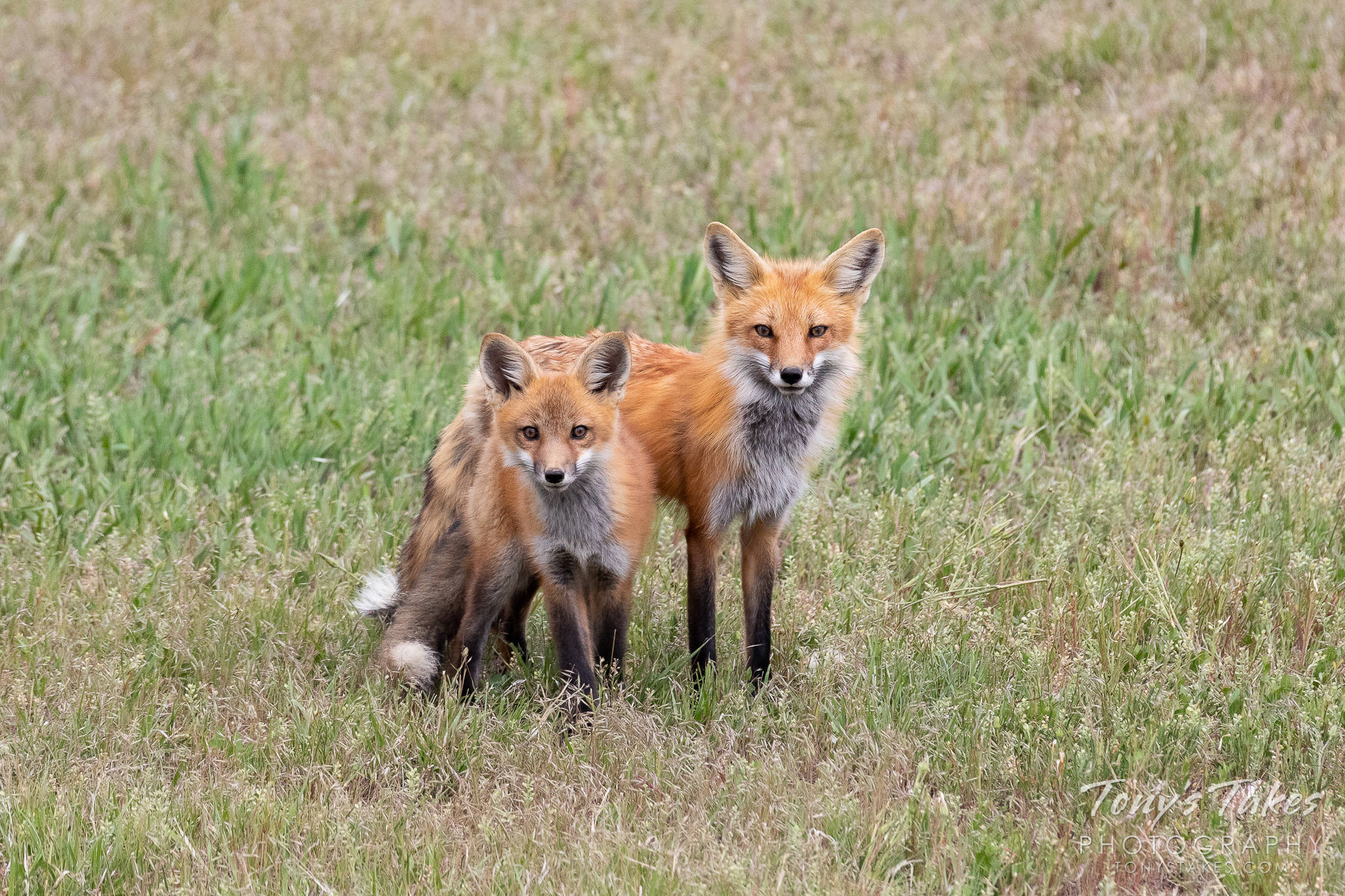 A red fix vixen and one of her kits pose in Thornton, Colorado. (© Tony's Takes)
