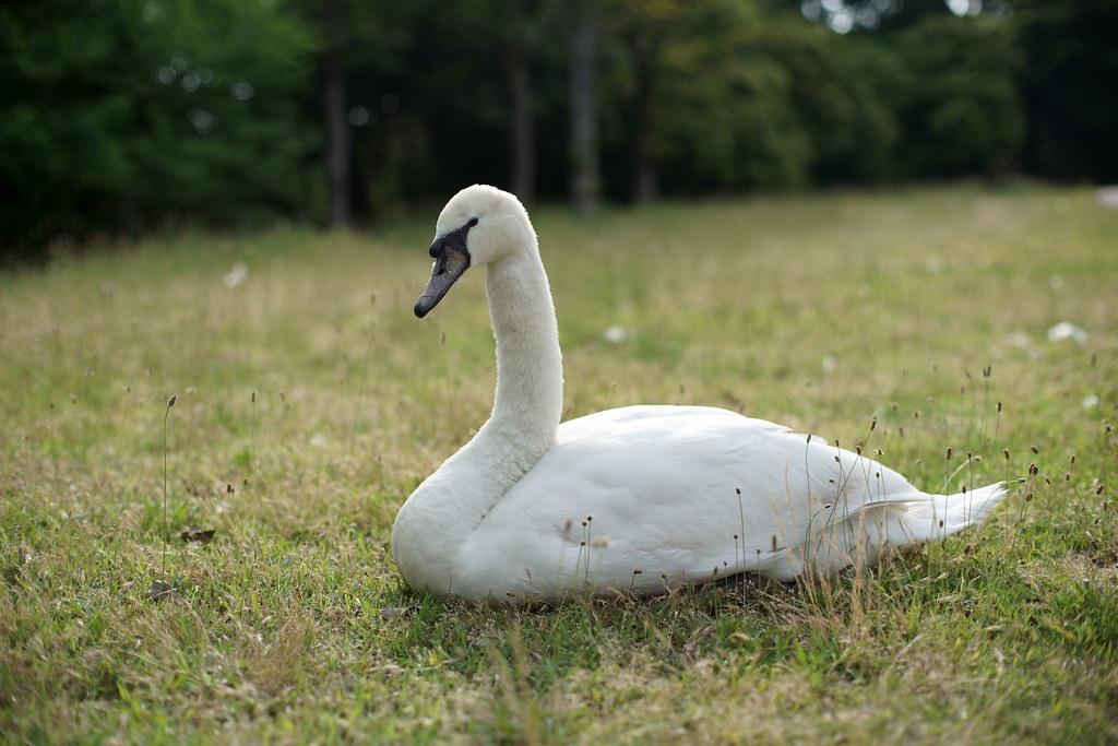 海ノ中道海浜公園の白鳥