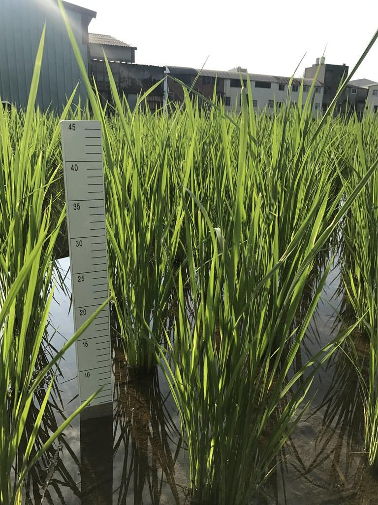 田間施作照片,稻田適當湛水處理可降低稻米鎘濃度。林毓雯博士提供