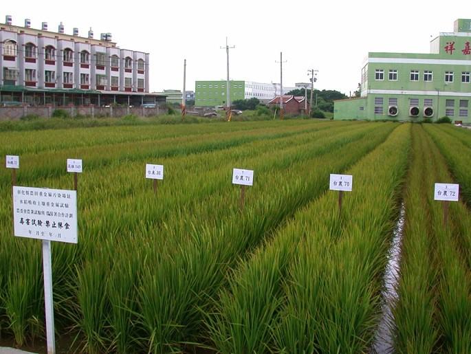 低鎘吸收水稻品種篩選。林毓雯博士提供