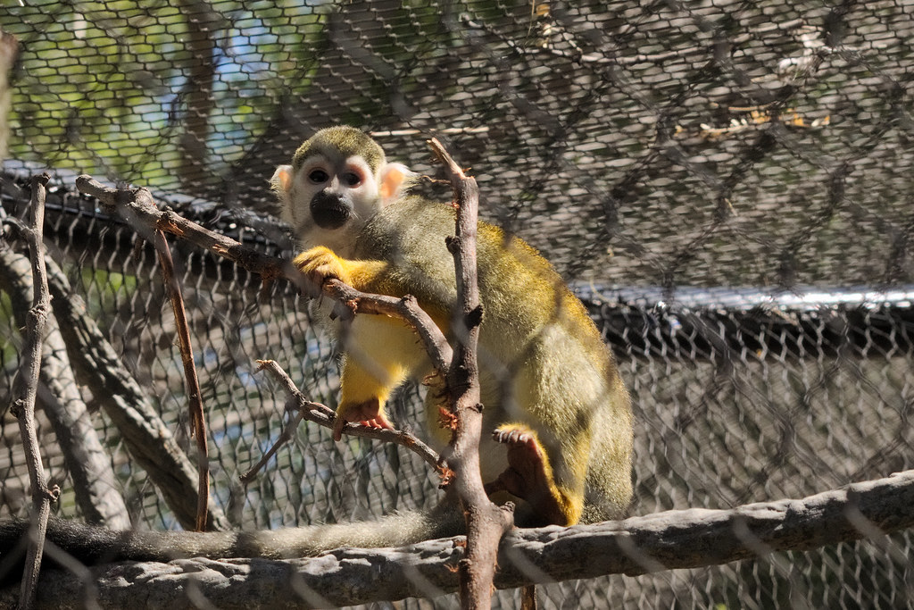 Squirrel monkey at the Reid Park Zoo