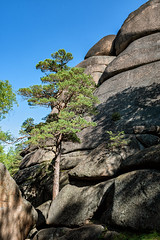 Pine that grows on the rock of the first pillar of the Stolby Nature Reserve - Siberia - Russia