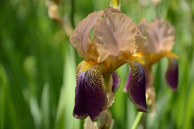 Iris 'Egée' - Vilmorin 1925 48008179156_a7c1b664a2_z