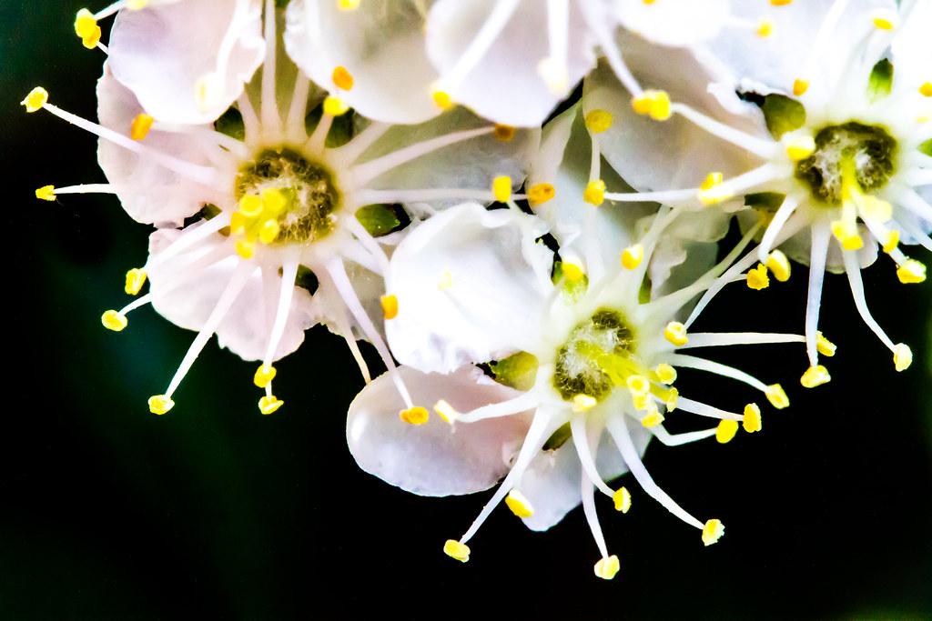 Macro Hawthorne Blossom