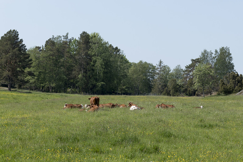 Meanwhile in the cow pasture