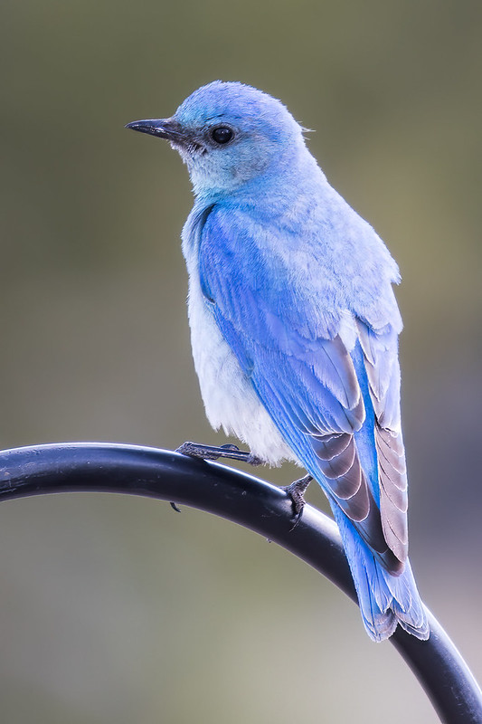 Mountain-Bluebird-3-7D2-060319