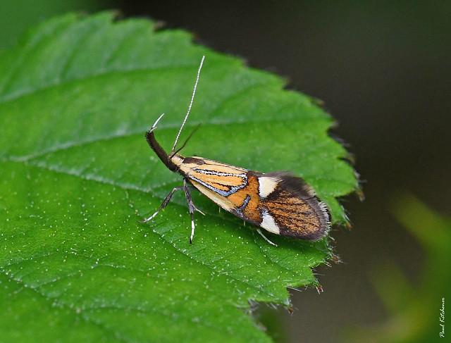 652 Alabonia geoffrella
