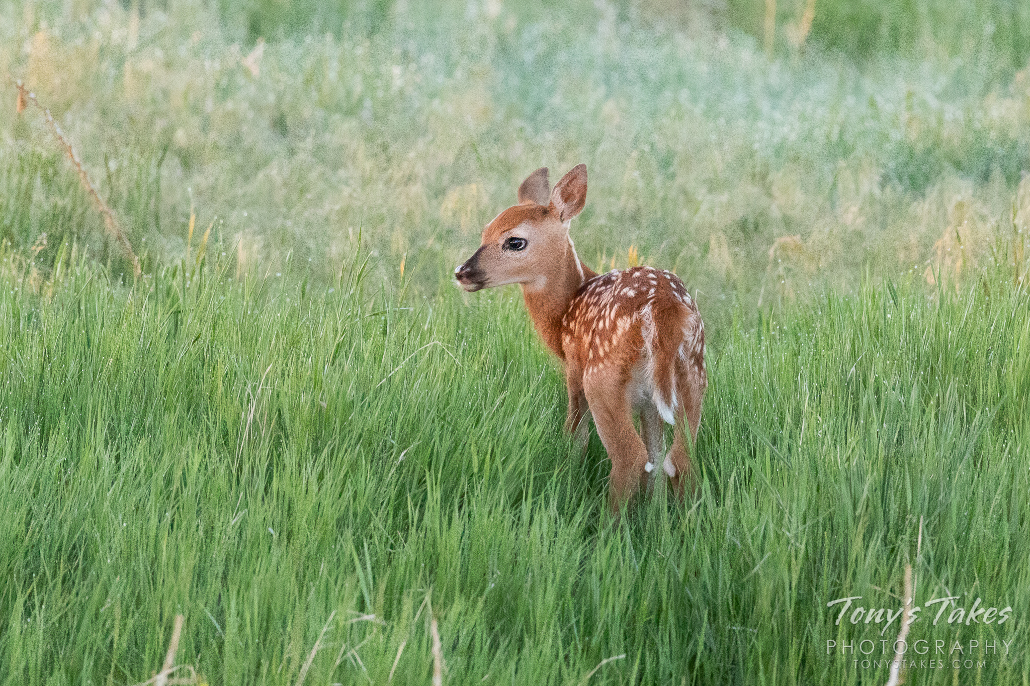 A white-tailed deer fawn on the plains of Colorado. (© Tony's Takes)