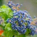 Oregon Grape