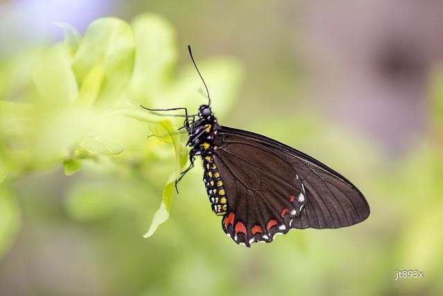 Belus Swallowtail