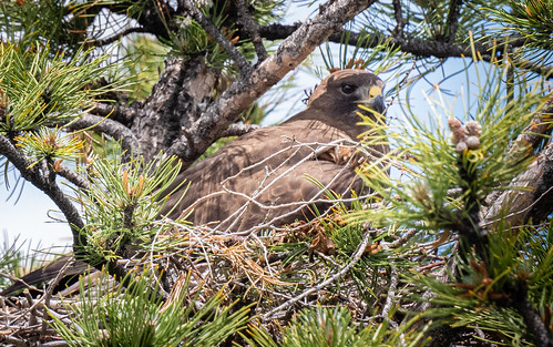 swainsons_hawk_on_nest-20190605-101