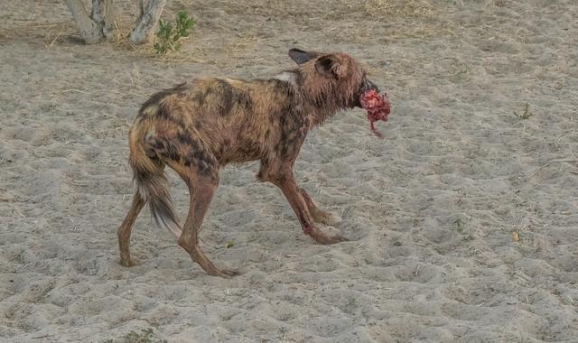 African Wild - Dog