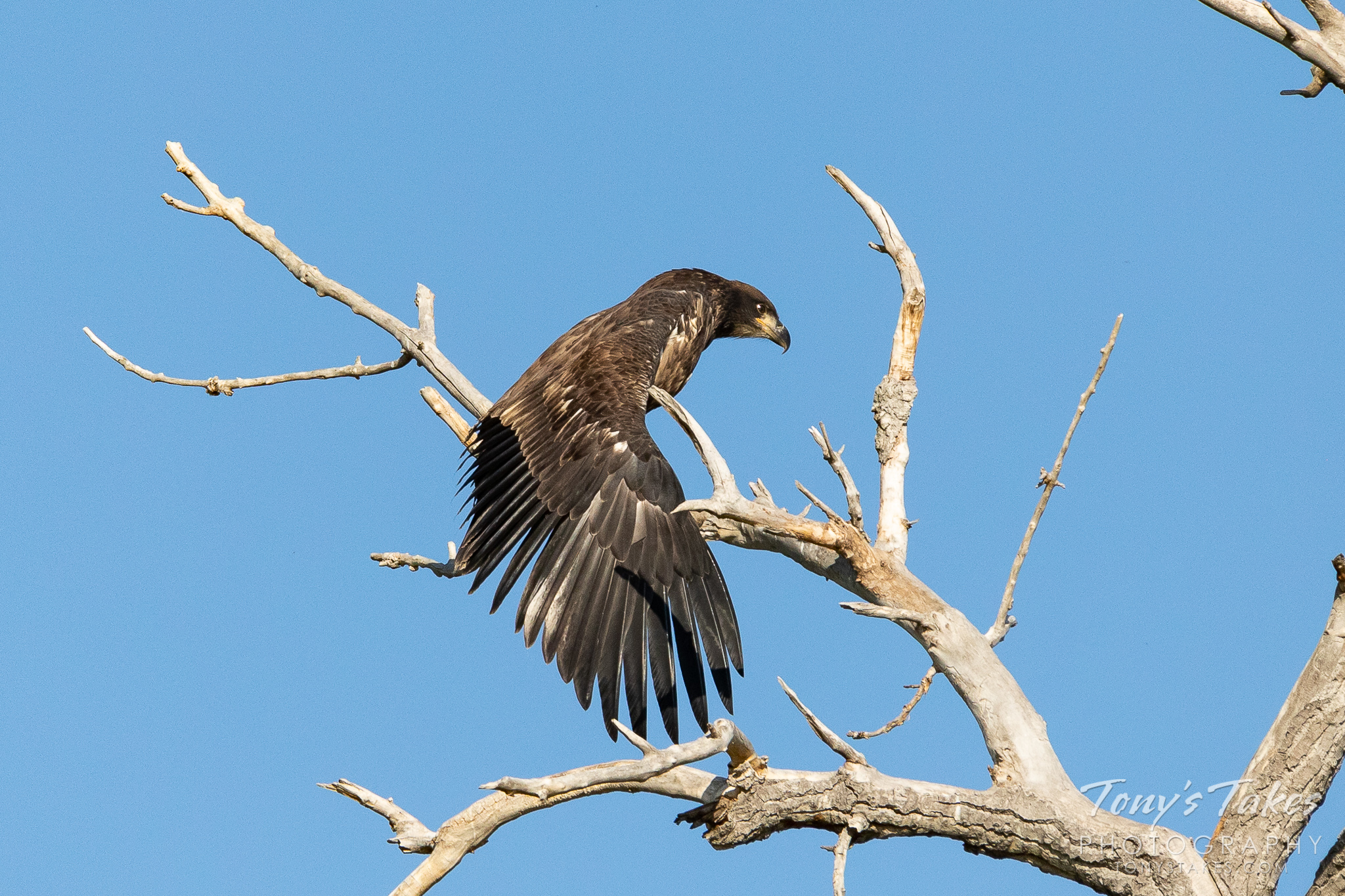 A juvenile bald eagle stretches its wings along the South Platte River. (© Tony's Takes)
