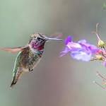 Anna's Hummingbird ~ juvie ♂