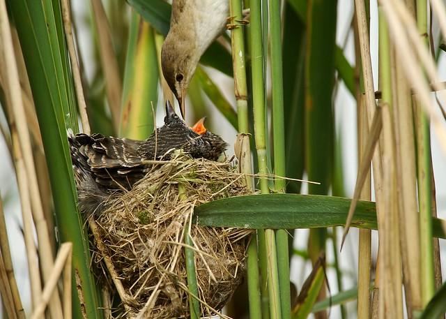 Common Cuckoo (juv)