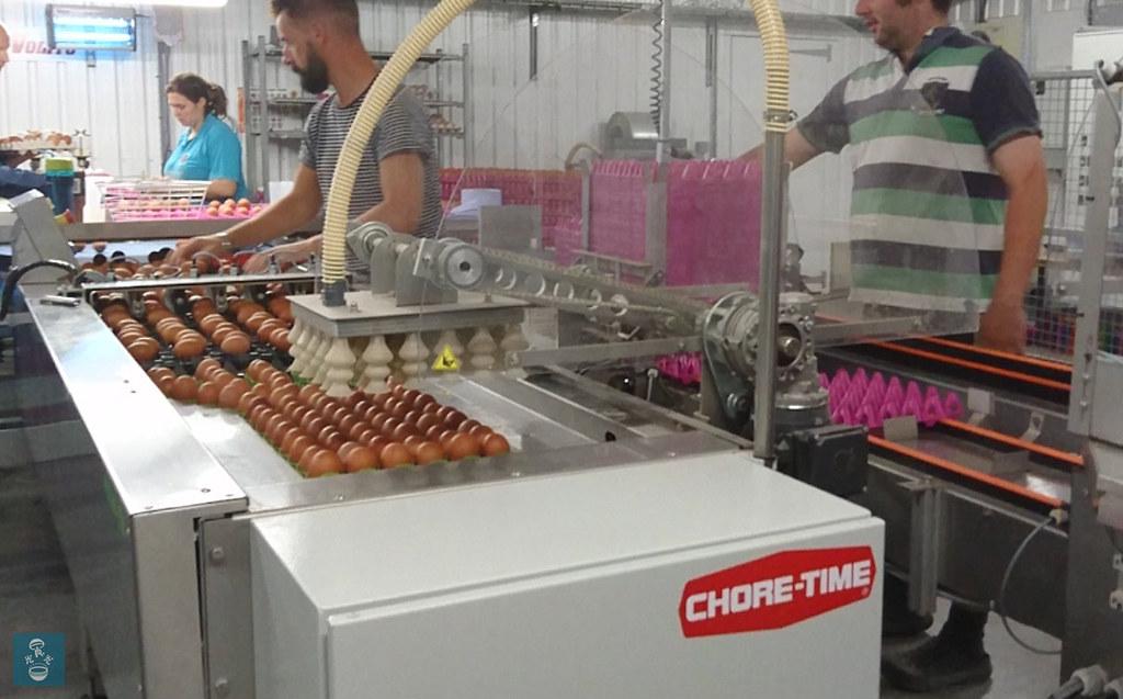 走地雞蛋場的入蛋機。