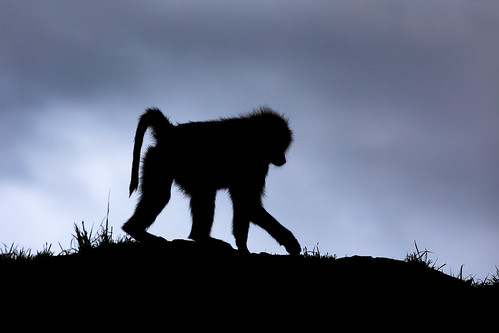 Baboon at Leopard Gorge