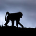 Image: Baboon at Leopard Gorge