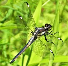 Spangled Skimmer At Rieve's Pond