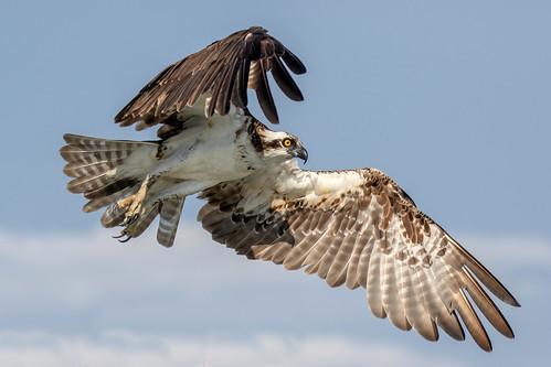 outdoor seaside shore sea sky water nature wildlife 7dm2 7d ii ef100400mm ocean canon florida bird prey raptor