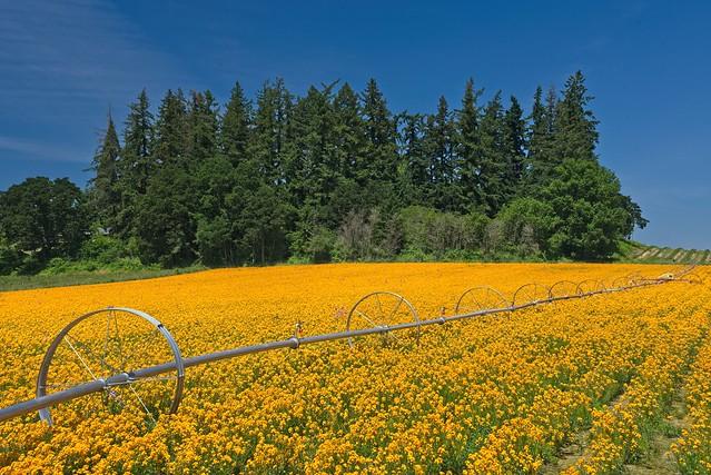 Flower Farm 5793 A