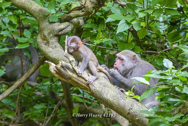 Harry_42192,台灣獼猴,猴子,獼猴,野生動物,猿猴,高雄,柴山,壽山國家自然公園,壽山,萬壽山,國家自然公園,高雄市,Formosan Macaque,Formosan Rock Monkey