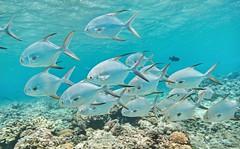 Snubnose Pompano (Trachinotus blochii) cruising Tumon Bay Marine Preserve.