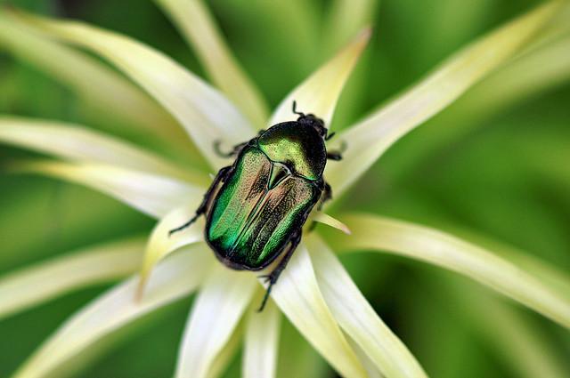 Emerald Euphorium Beetle (Euphoria Fulgida)