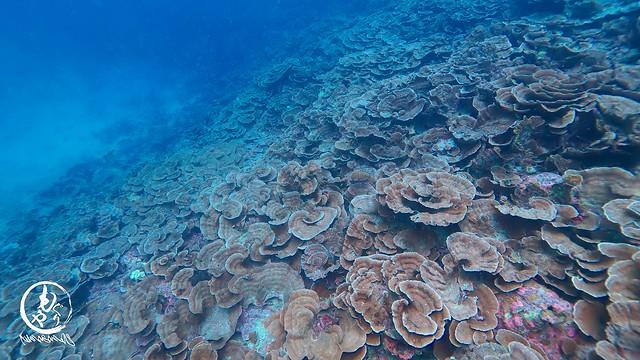 キッカサンゴが一面に広がっていました