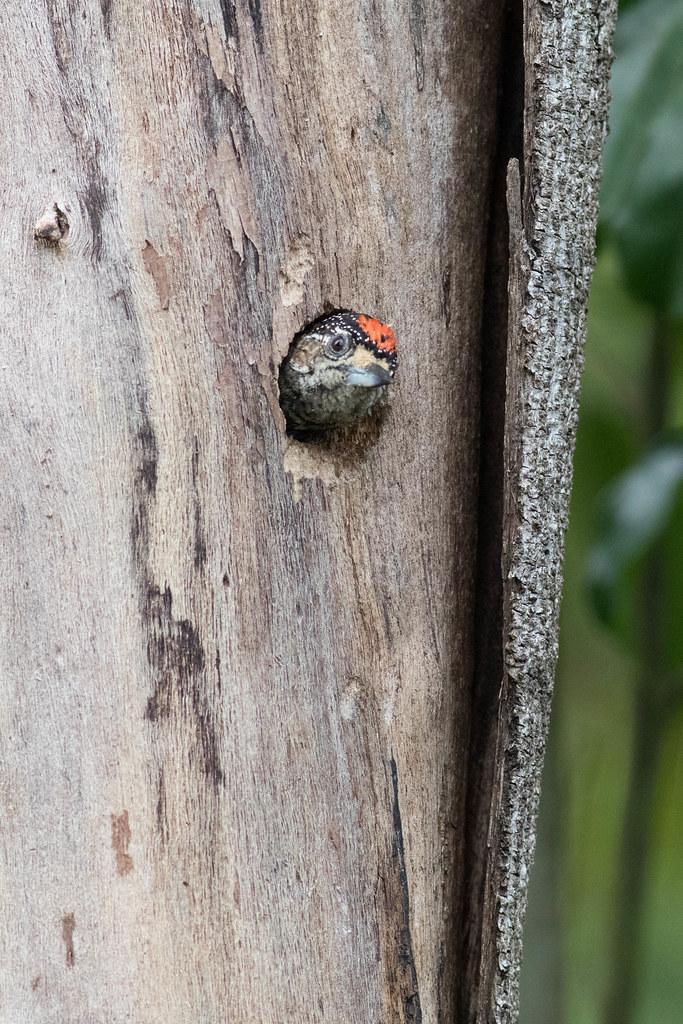 [White-barred Piculet - Picumnus cirratus]-[BR-Regua Nature Reserve]