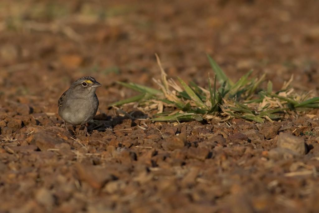 [Grassland Sparrow - Ammodramus humeralis]-[BRA-Mato Grosso]