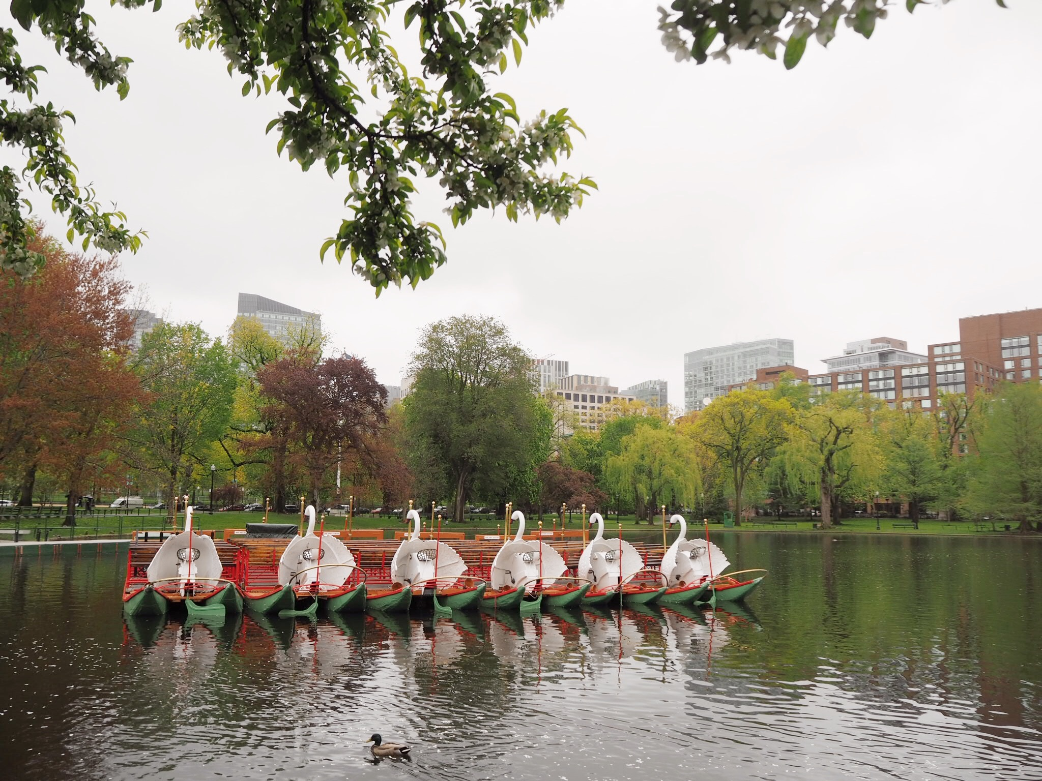 boston common swan boat