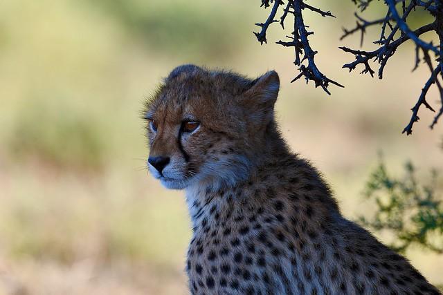 Cheetah Cub looking at its playing siblings