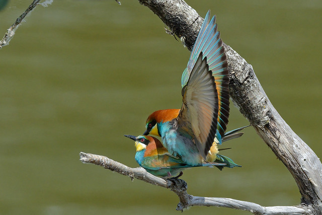 DSC_7257_DxO-1 - Guêpier d'Europe - Merops apiaster - European Bee-eater