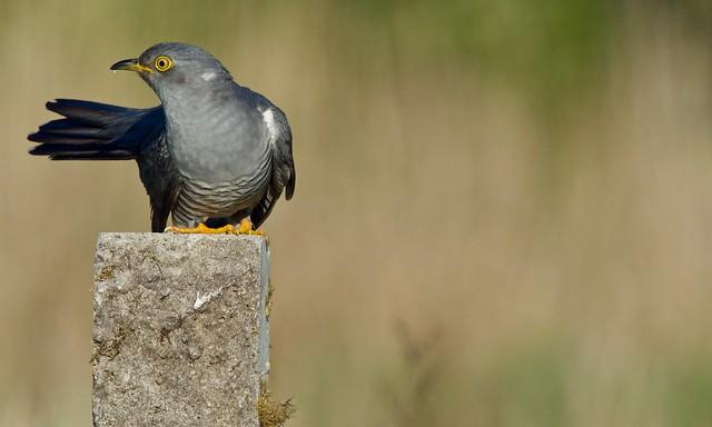 Common Cuckoo (m)